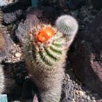 Parodia ocampoi