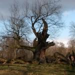Baum (Sacrow)