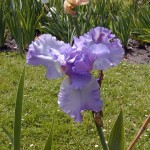 Schwertlilie (Iris species)