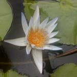 Seerose (Nymphaea nouchali)