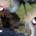 Süddafrika-Kronenkranich (Balearica regulorum)