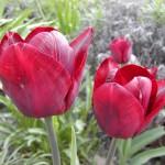 Tulpe (Tulipa species)