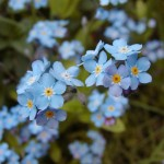Vergissmeinnicht (Myosotis species)