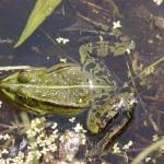 Wasserfrosch (Pelophylax species)