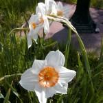 Weiße Narzisse (Narcissus poeticus)