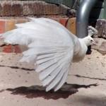 Weißer Pfau (Pavo cristatus mutatio alba)