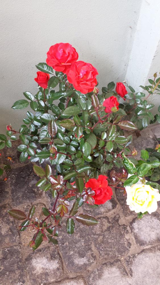 Rose 'Westpoint'