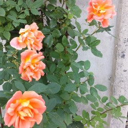 "Rose ""Orange Dawn"""