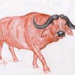 Afrikanischer Büffel (Syncerus caffer)