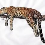 Amurleopard (Panthera pardus orientalis)