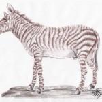 Bergzebra (Equus quagga zebra)