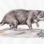 Beutelteufel (Sarcophilus harrisii)