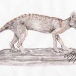 Beutelwolf (Thylacinus cynocephalus)