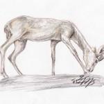 Dünengazelle (Gazella leptoceros)