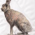 Feldhase (Lepus europaeus)