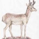 Gabelbock (Antilocapra americana)