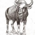 Gaur (Bos gaurus)