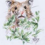 Goldhamster (Mesocricetus auratus)