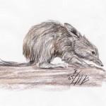 Großer Kaninchennasenbeutler (Macrotis lagotis)