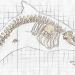 Großer Schwertwal (Orcinus orca)