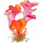 Rötlicher Gallerttrichter (Tremiscus helvelloides)