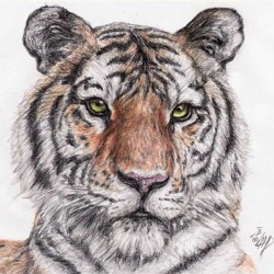 Tiger (Panthera tigris)