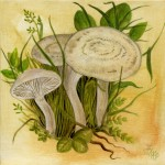 Feldtrichterling (Clitocybe dealbata)