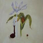 Herbst-Zeitlose (Colchicum autumnale)