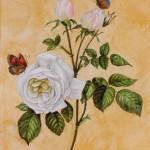 Rose 'Bengale Thé hyménée' (Rosa species)