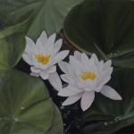 Seerose (Nymphaea species)