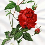 Teerose (Rosa indica cruenta)