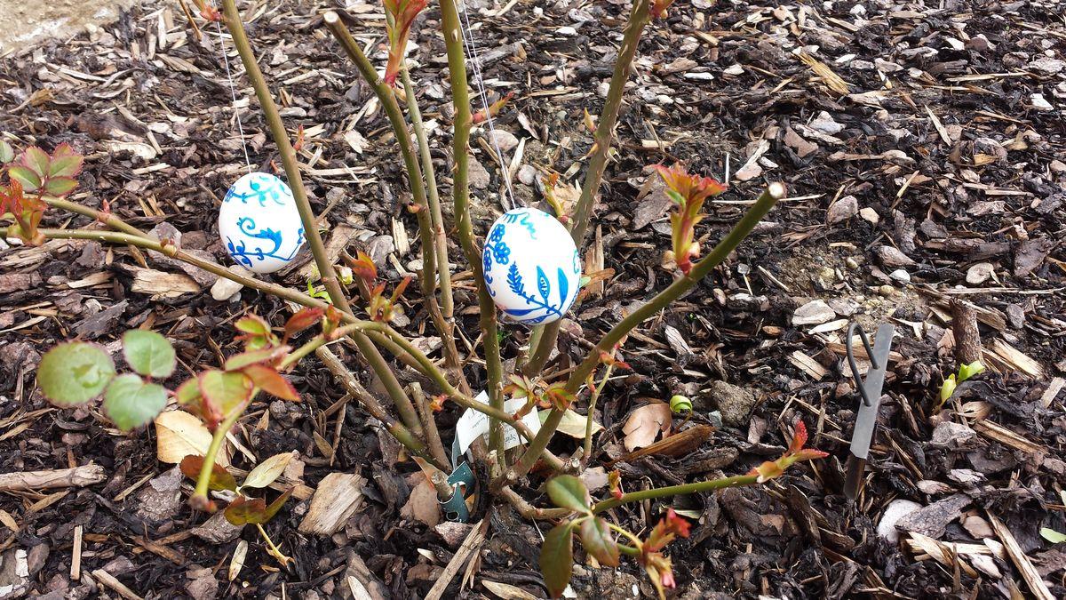 """Ostereier im Vorgarten an der Rose """"Charles Darwin"""""""