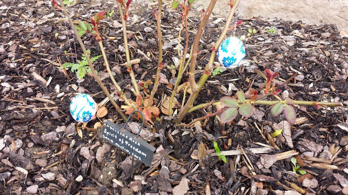 """Ostereier im Vorgarten an der Rose """"Spirit of Freedom"""""""