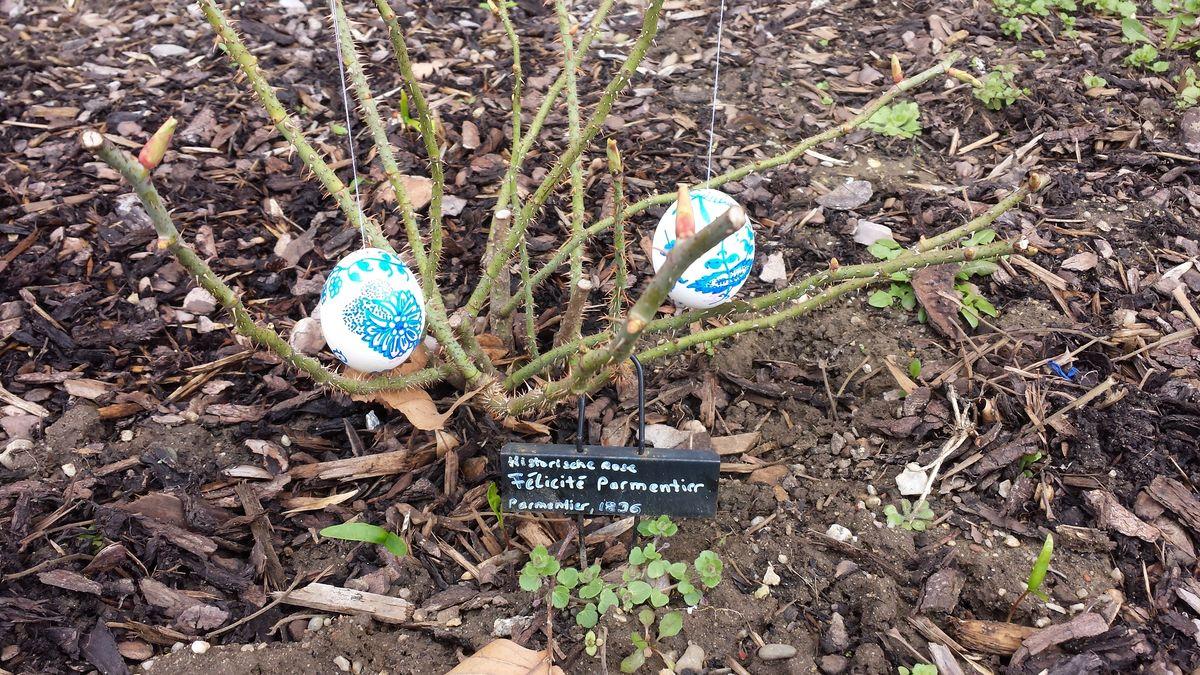 """Ostereier im Vorgarten an der Rose """"Felicité Parmentier"""""""
