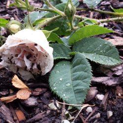 Rose 'Felicité Parmentier'