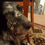Großer Münsterländer 'Flash' (Canis lupus familiaris)