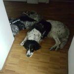 Große Münsterländer 'Léon' und 'Flash' (Canis lupus familiaris)