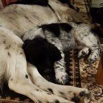 Große Münsterländer 'Léon' und 'Lara' (Canis lupus familiaris)