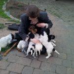Großer Münsterländer 'Léon' mit Geschwistern (Canis lupus familiaris)