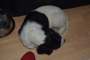 Großer Münsterländer 'Léon' (Canis lupus familiaris)