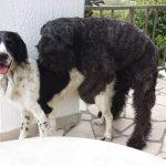 Bouvier des Flandres 'Ar' und Großer Münsterländer 'Léon' (Canis lupus familiaris)