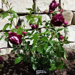 Rose 'Burgundy Ice' (Rosa species)