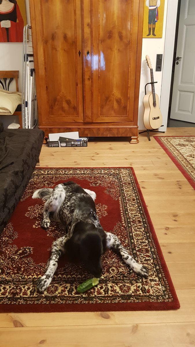 Großer Münsterländer 'Lara' (Canis lupus familiaris)