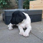 Großer Münsterländer 'Gaius' (Canis lupus familiaris)