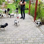 Große Münsterländer (Canis lupus familiaris)